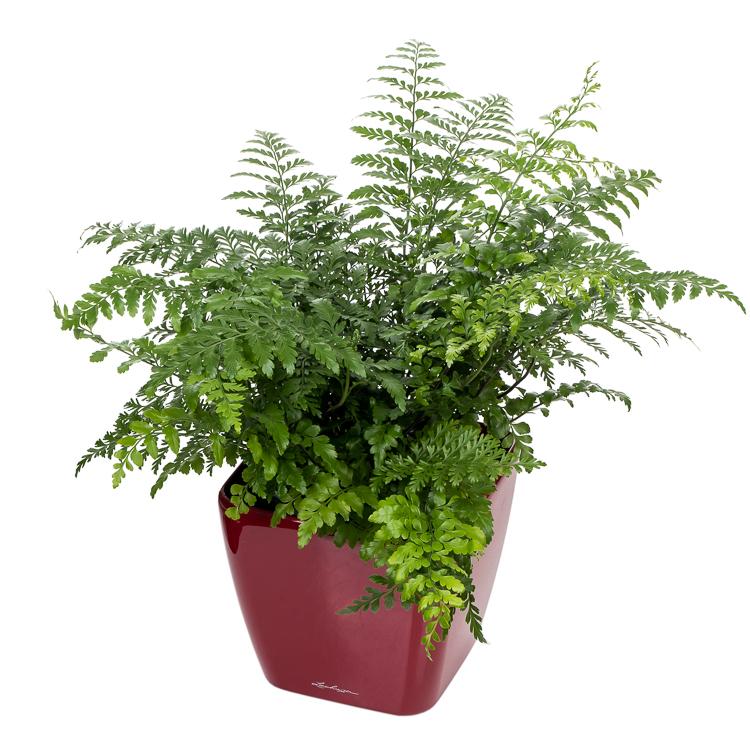 De mooiste Asplenium nidus (Vogelnestvaren) koop je bij plantena