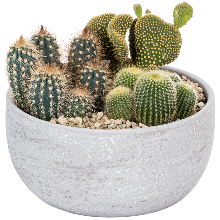 Koop de mooiste Cactus planten en meer bij plantena.nl