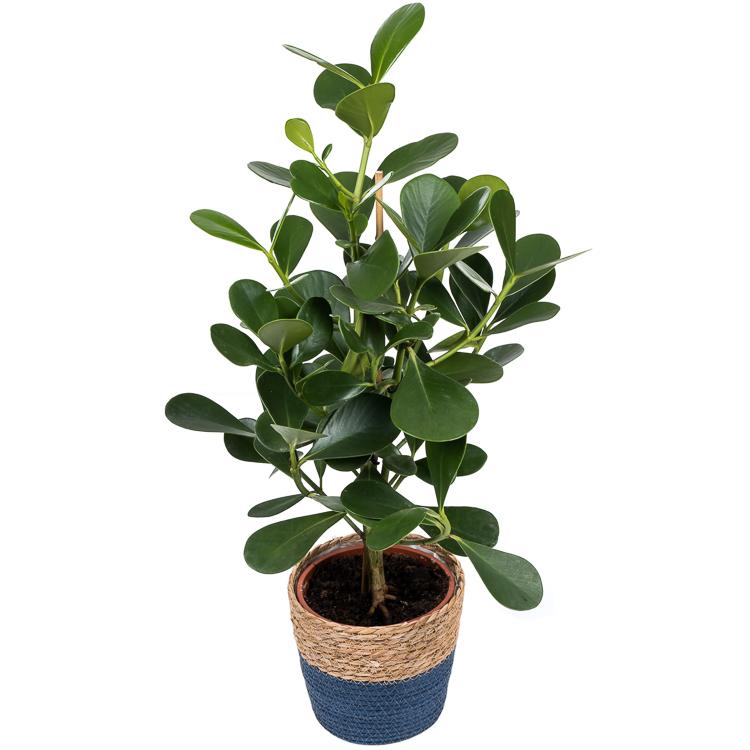 clusia rosea green magic 750px 1