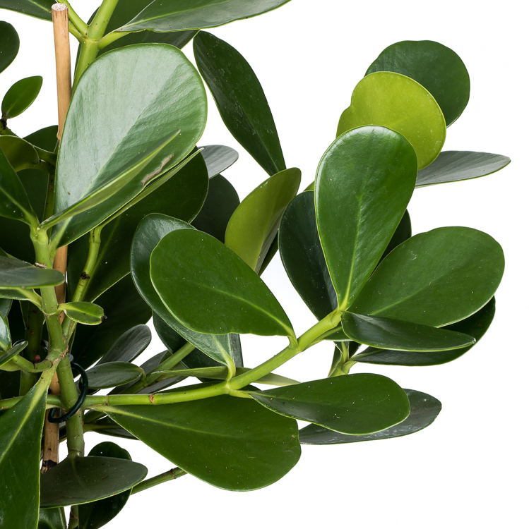 clusia rosea green magic 750px 2