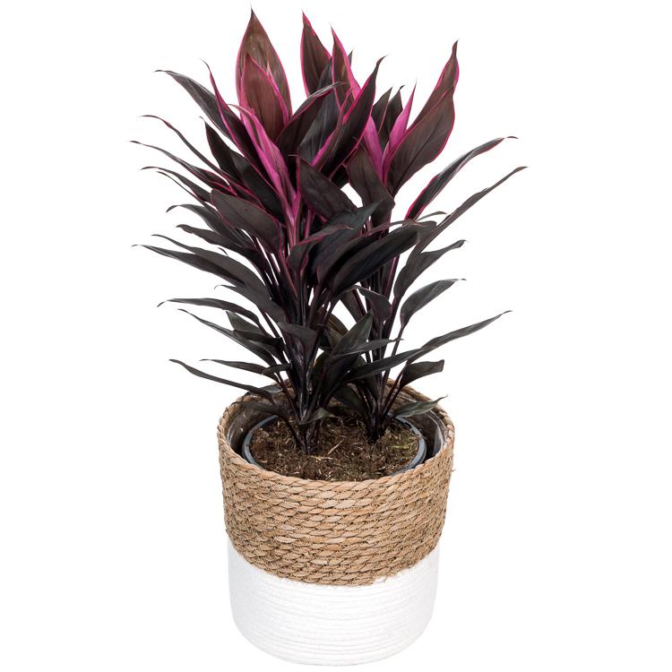 De mooiste Cordyline koop je bij plantena