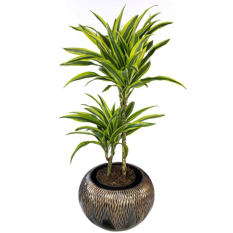 De mooiste dracaena en drakenplanten koop je bij plantena.nl