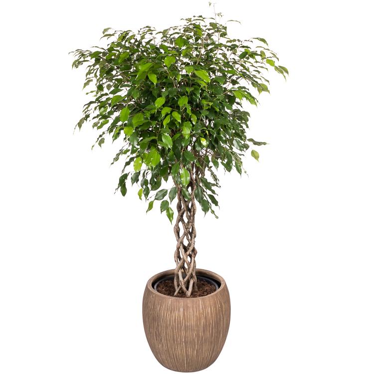 De mooiste Ficus (rubberboom) koop je bij plantena