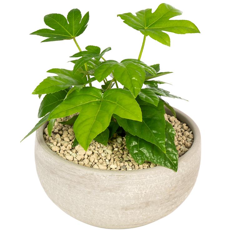 De mooiste Fatsia Japonica (Vingerplant) koop je bij plantena
