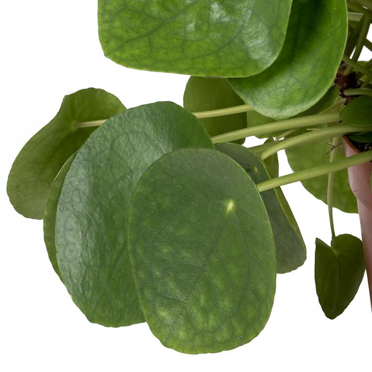 florafashion 2021 01 blog pannenkoekenplant 750px 2