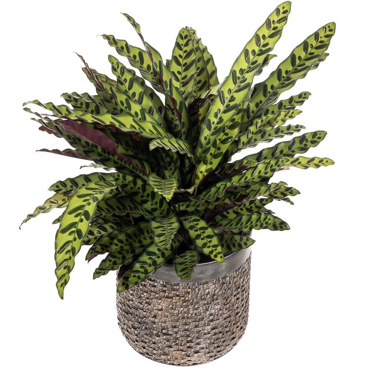 De mooiste Calathea planten koop je bij plantena