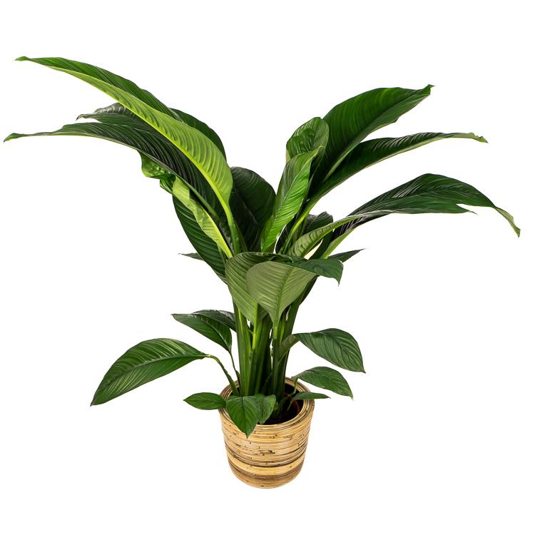 lepelplant sensation 150 cm pot 24 750px 2