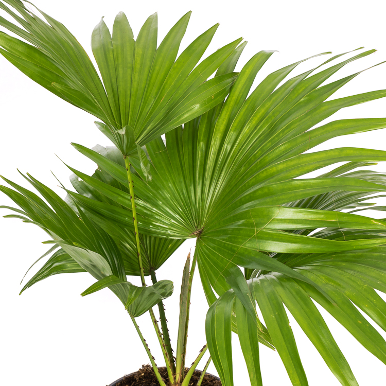 livistona rotundifolia 45 cm p14 750px 5