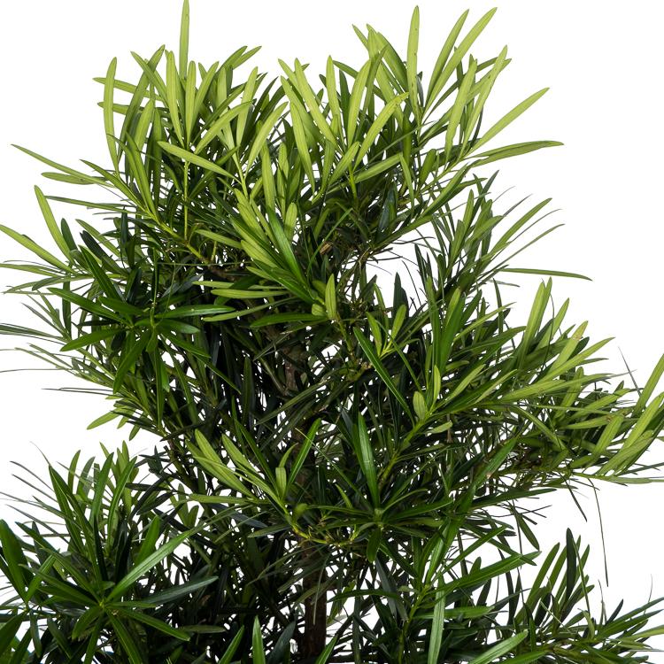 podocarpus macrophylla 750px 1