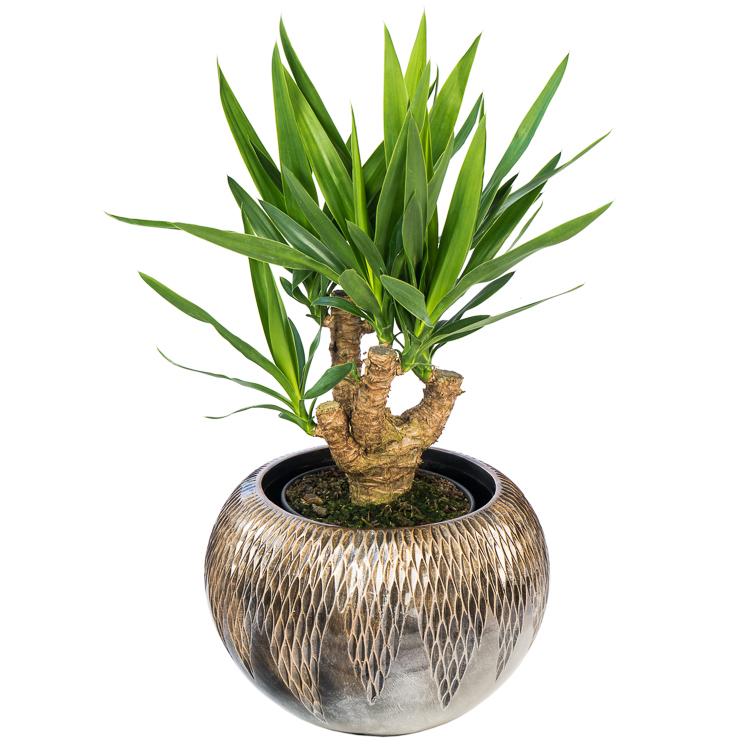yucca vertakt 3of4 arm 70cm p21 750px 3