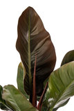 Blad Imperial Red Philodendron