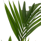 Kentia Howea palm blad