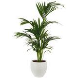 Kentia Howea palm in pot