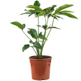 Philodendron Green Wonder online