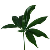 Blad Philodendron Green Wonder