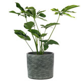Philodendron Green Wonder in pot