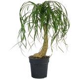 Beaucarnea kamerplant op stam