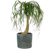 Beaucarnea op stam kamerplant