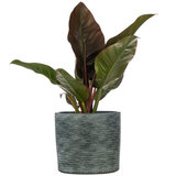 Imperial Red Kamerplant in pot