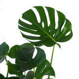 Bladeren Monstera Gatenplant