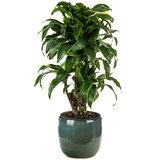 Dracaena Dorado kamerplant in pot
