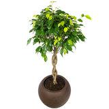 Ficus op stam in luxe pot