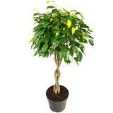 Ficus benjamina exotica op gevlochten stam