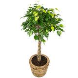 Ficus Benjamina in mand