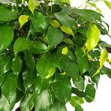 Ficus Benjamina bladeren