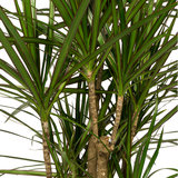 Bladeren Marginata