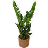 Zamioculcas Zamiifolia in pot