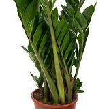 Zamioculcas Zamiifolia stengels groen