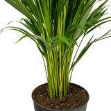 Areca palm groen