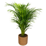 Areca palm in luxe pot
