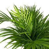 Bladeren Areca palm