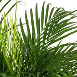 Areca palm - Goudpalm bladeren