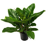 Philodendron Imperial Green kamerplant
