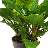Philodendron Imperial Green bladeren