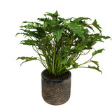 Philodendron in luxe pot