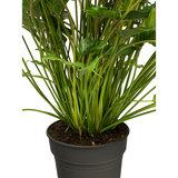 Philodendron Xanadu groen