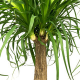 Beaucarnea blad