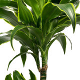 Dracaena Dorado blad
