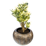 Croton Tamara in luxe pot