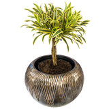 Dracaena Song of India in luxe pot