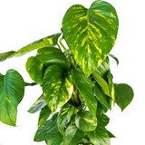 Bladeren Epipremnum Scindapsus