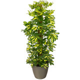 Schefflera Gold Capella in pot