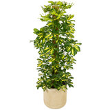 Schefflera Gold Capella in luxe pot