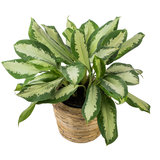 Aglaonema in Rattan pot