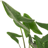 Grote bladeren Alocasia Zebrina
