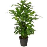 Caryota Mitis plant